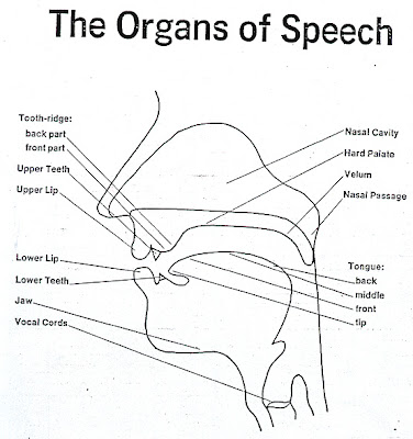 organs of speech. organs of speech
