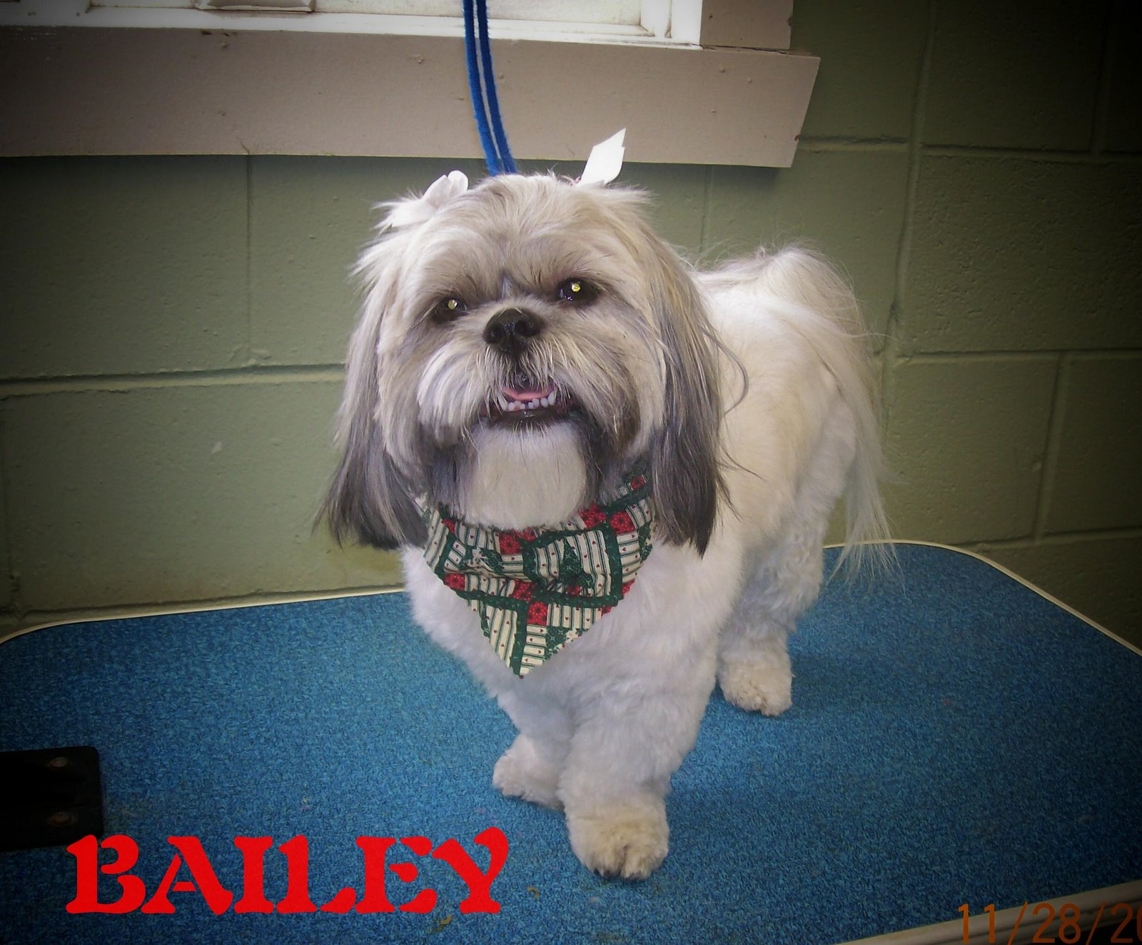 Bailey is a Shih Tzu. A very sweet girl, loves whatever I do. Her mom