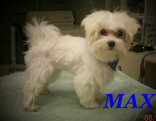 max is a maltese he is a baby and so tiny he got his first haircut so