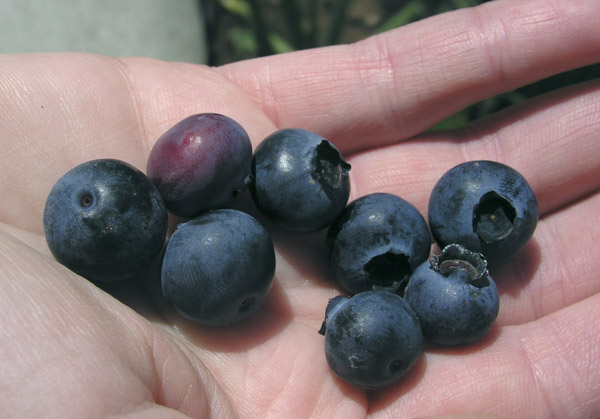 [blueberries.jpg]