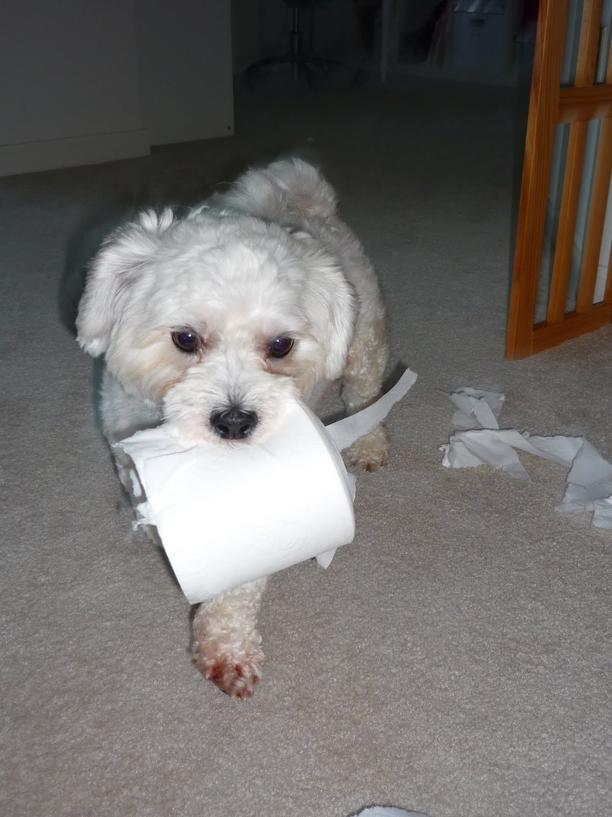Simply Suzanna: Brody: the New Cottonelle Dog
