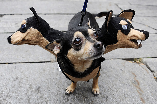Personally I spend too much time scritching the head of my one-headed Chihuahua if she had three heads Iu0027d never get anything else done. & The Dapper Chihuahua: Three-Headed Chihuahua Costume