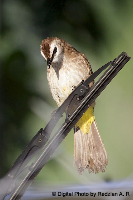 Bulbul at Car's Wiper