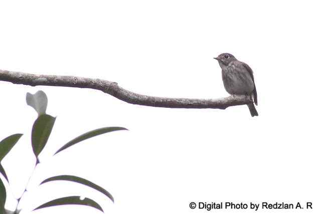 Asian Brown or Darksided Flycatcher