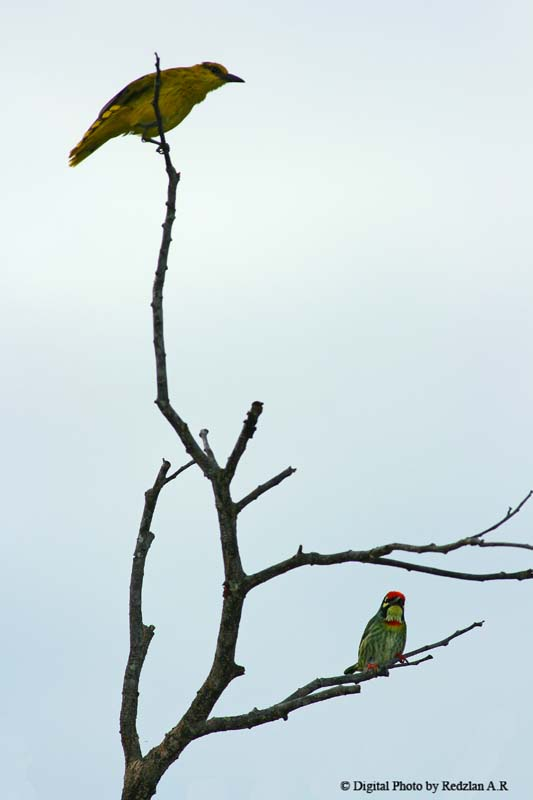 Oriole and Coppersmith Barbet