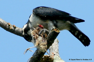 Black Legged Falconet