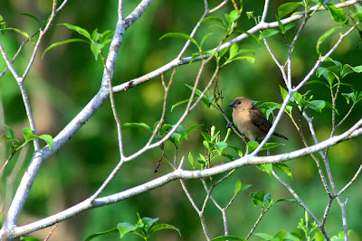 Juvenile Scaly-breasted Munia perched at Bunga Melur tree