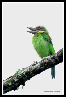 Gold-whiskered Barbet
