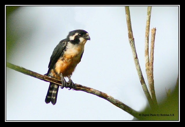 Black-thighed Falconet by Dr.Redzlan AR