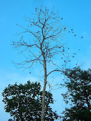 Asian Glossy Starling at the dead tree