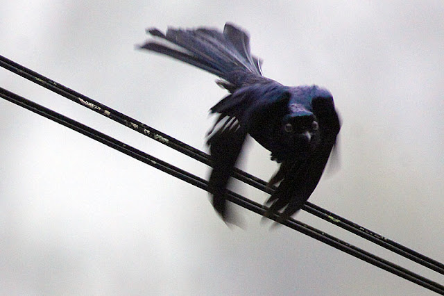 Drongo Lesser Racquet-tailed