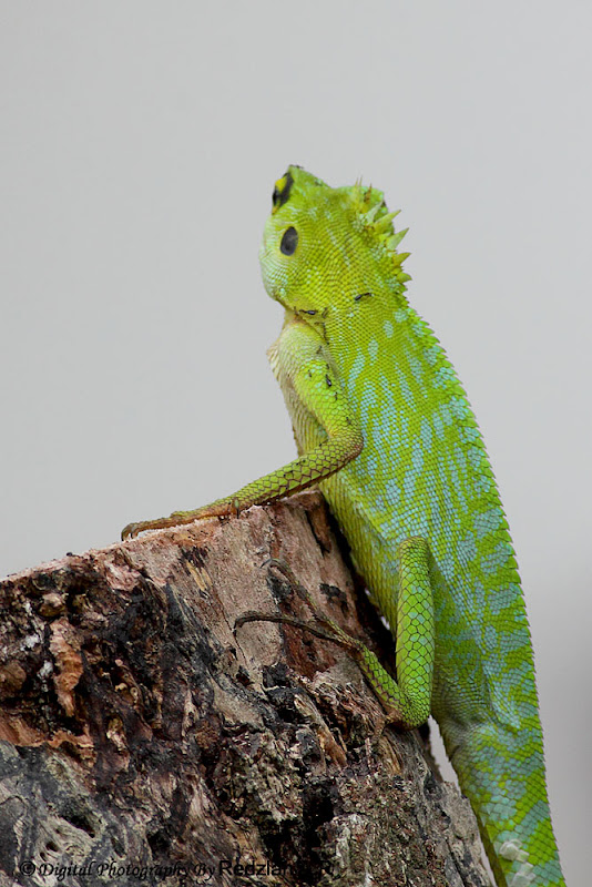 Chameleon Green Crested Lizard