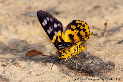 Yellow Day Flying Moth