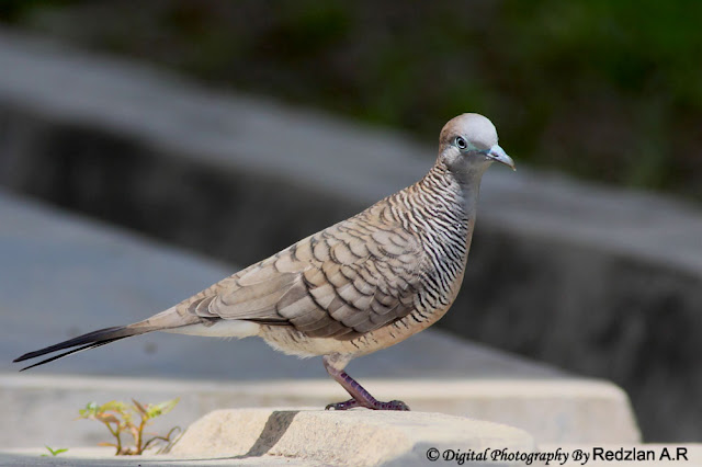 Adult Zebra Dove, Merbuk