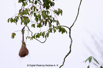 Old Baya Weaver's Nest