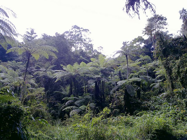Giant Ferns at Fraser's Hill