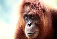 Selamatkan Orangutan !