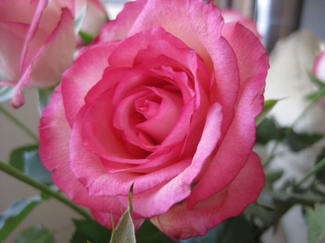 The Beauty of Spring ~ Pink Roses, Natasha in Oz