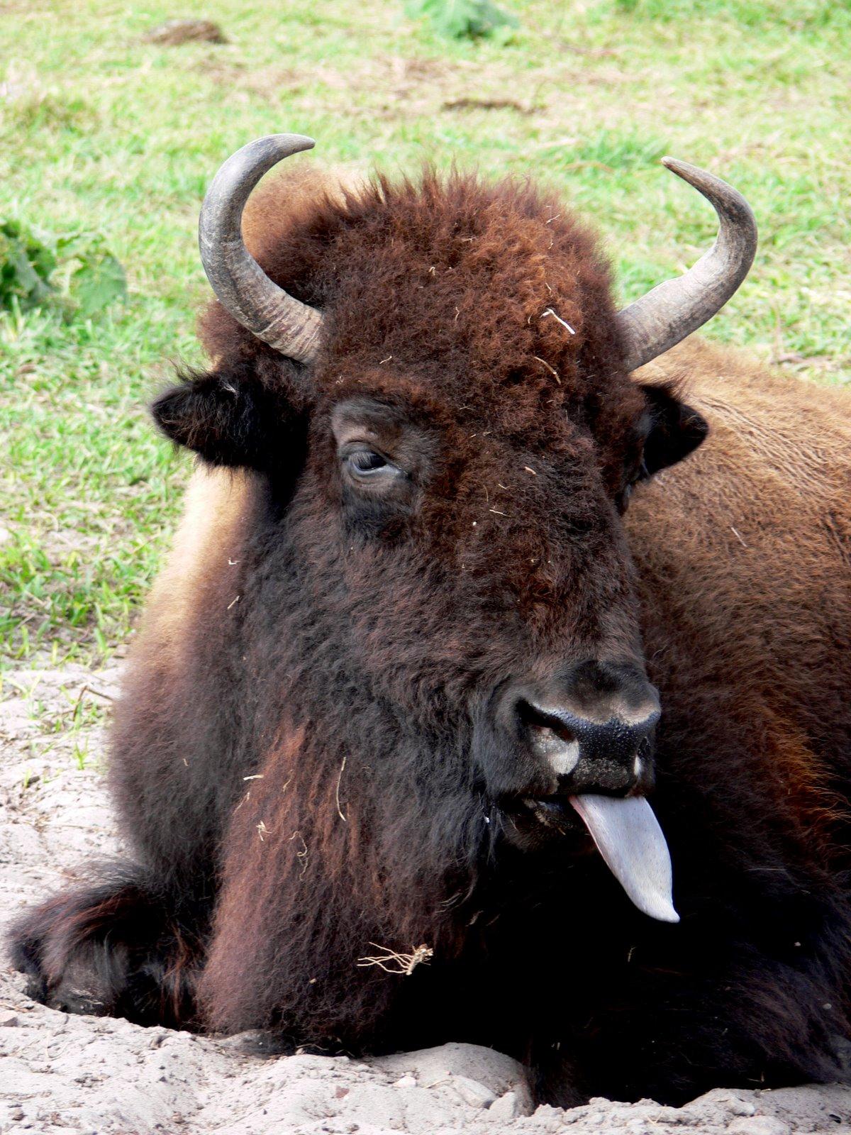 [buffalotongue.jpg]