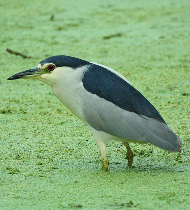 Black-crowned night heron   Νθχτοκορακας