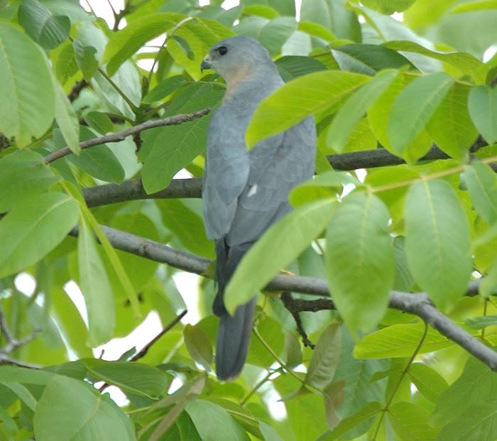 Levant sparrowhawk   Σαϊνι