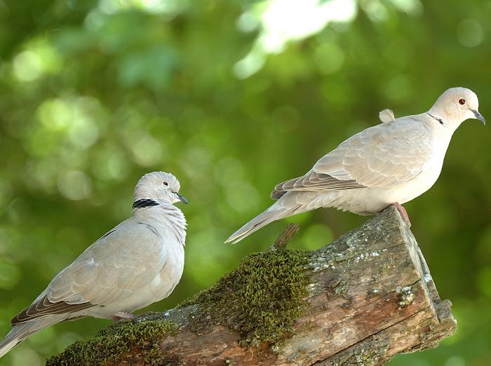 Eurasian collared dove   Δεκαοχτουρα