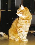 Tiikeri ja muita kissakuvia