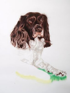 springer spaniel in colour pencils