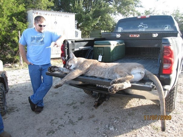 Huge Mountain Lion White
