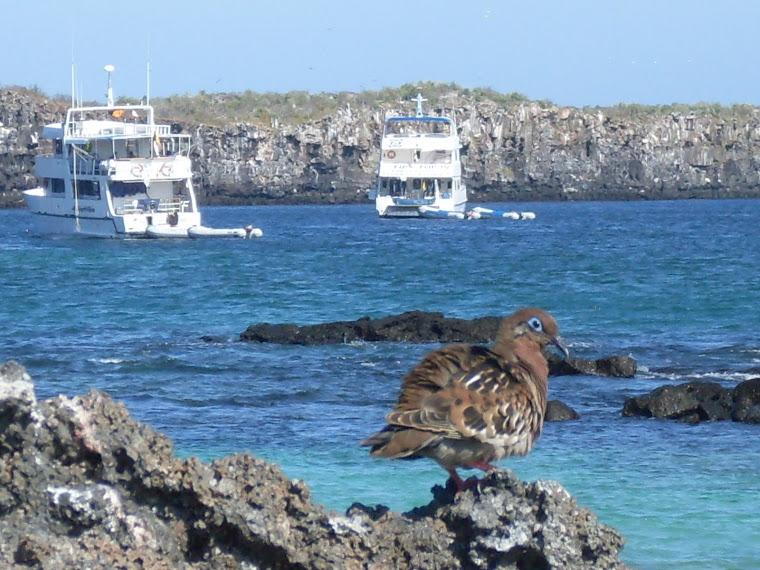 Une tourterelle des Galapagos