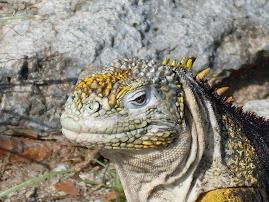 Un iguane des Galapagos