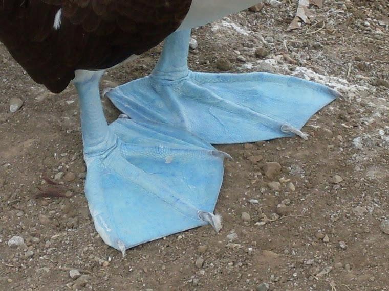 Les fameuses pattes bleues