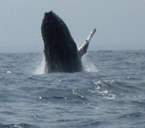 Une baleine bossue a Puerto Lopez