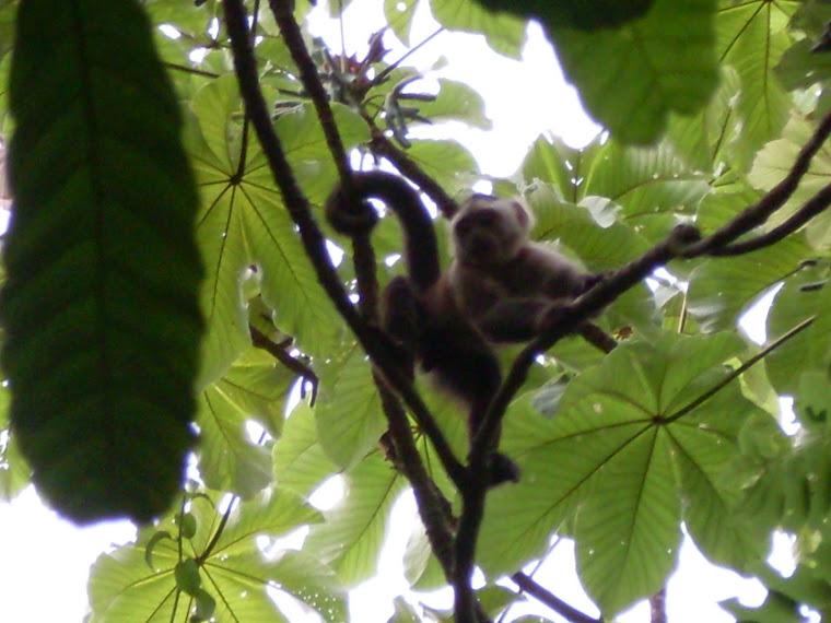 Un capucin au Parc de Tayrona