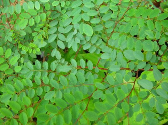 Medicinal Plants Kerala: Indigo ( Neelayamari) for Hair tonic