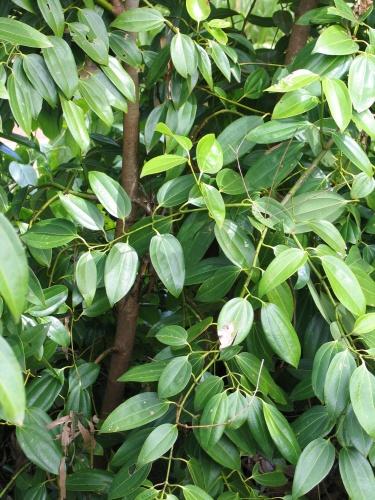 Medicinal Plants Kerala: Cinnamon Tree / Karuva / Pattai ...