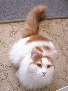 Turkish Van cat photo