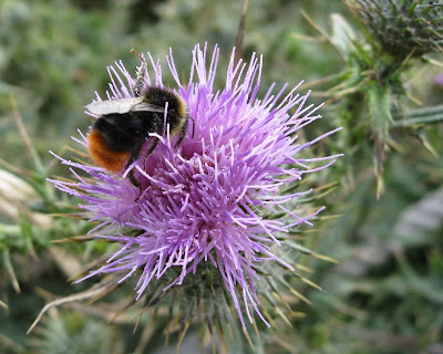 A close up of a bee on a thistle flower