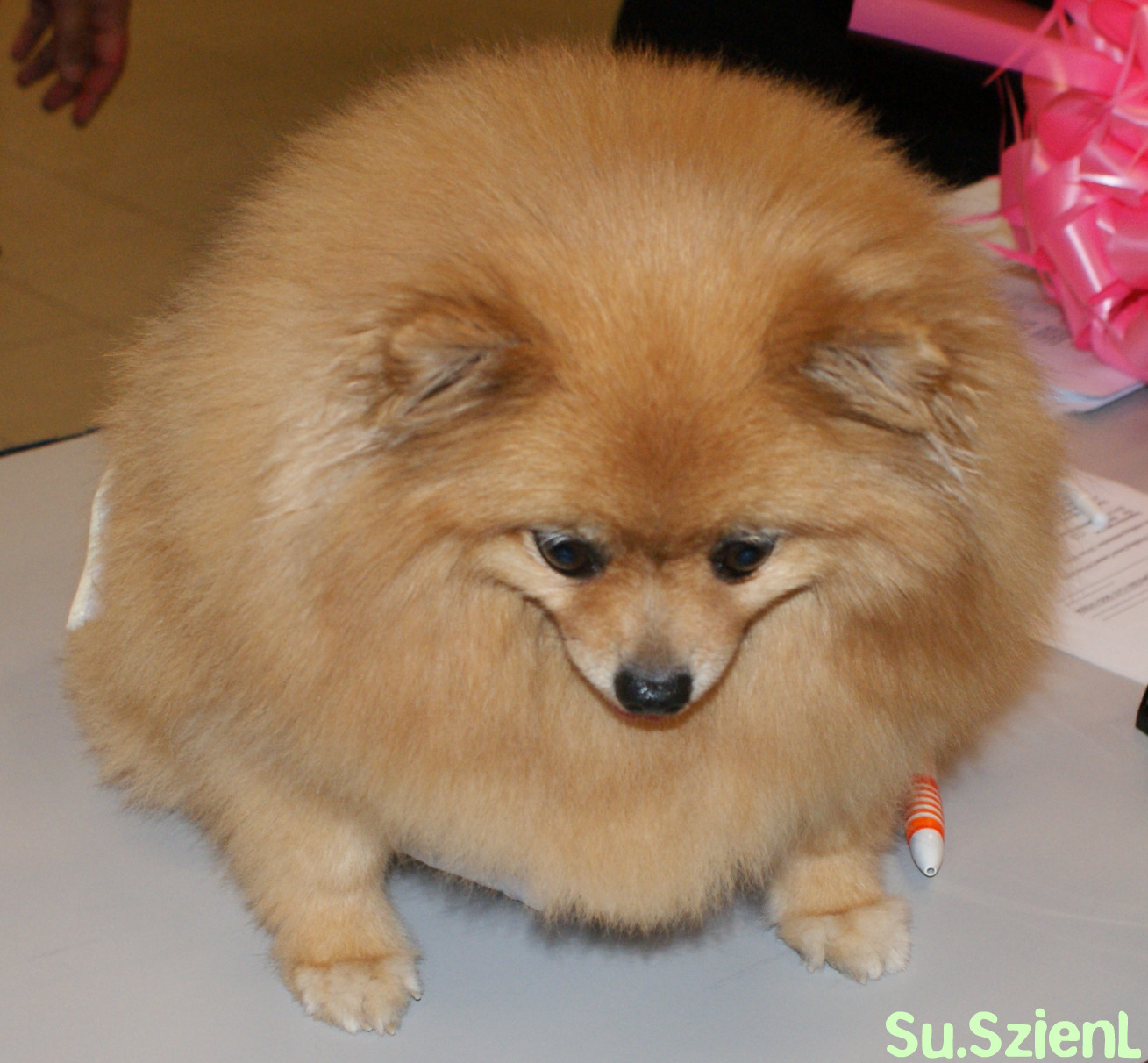 fat pomeranian the walk into her past october 2010 2586