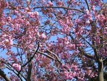 Körsbärsträdet på Gården