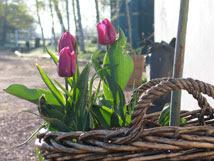 Korg med tulpaner vid stallet