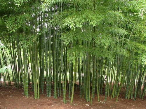 Bamboo Garden Malaysia Bamboo Species