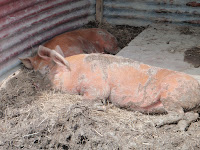 Happy Pig Mud The pigs are now housed in