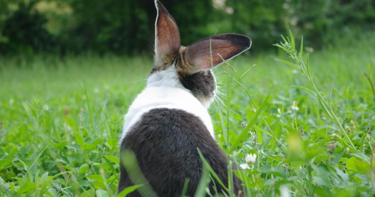 奇魚的異想世界...: 道奇兔介紹