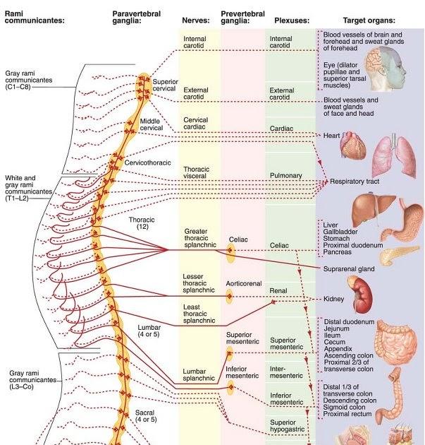 paravertebral-ganglia