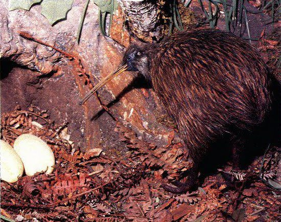 Kiwi bird egg size comparison