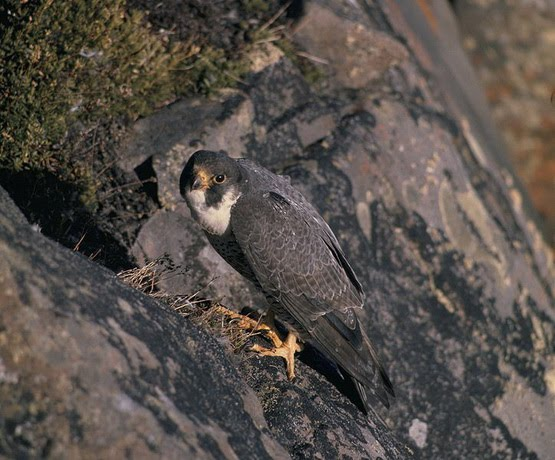 While Its Diet Consists Almost Exclusively Of Medium Sized Birds The Peregrine Will Occasionally Hunt Small Mammals Small Reptiles Or Even Insects