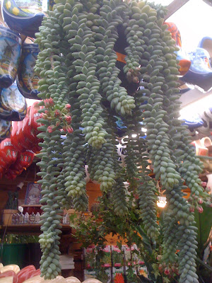 Amsterdam Flower Market, flowers, plants, succulents, Burro's Tail Succulent