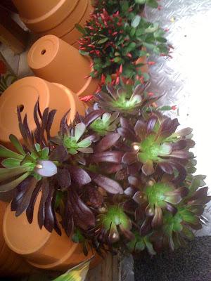 Amsterdam Flower Market, succulents, Aeonium
