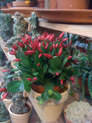 Amsterdam Flower Market, flowers, Amsterdam, flower market, plants, nature, succulents, cacti, garden, gardening, travel, terrarium, Dutch, Christmas Cactus